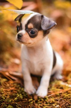 Male chihuahua black n white breed by Rio Farm