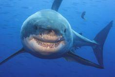 The Misunderstood Shark. A great white shark near Guadalupe Island, Mexico Misunderstood Shark, Guadalupe Island, Shark Conservation, Big Shark, Great White Shark, Sea World, Big Game, Embedded Image Permalink, Whale