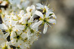 Wilde Kirschpflaube (prunus cerasifera)- wild cherry plum