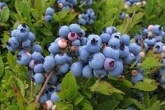 Image 5492679 is of lowbush blueberry (Vaccinium angustifolium ) fruit(s). It is by Caleb Slemmons at National Ecological Observatory Network. Blueberry Plant, Blueberry Bushes, Edible Plants, Edible Garden, Fruit Bushes, Wholesale Plants, Perennial Vegetables, Summer Berries, Garden Oasis
