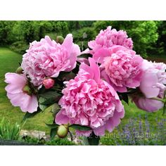 Peonies that once grew on my grandparent's farm.