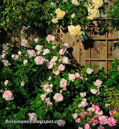 different kinds and colors of roses...