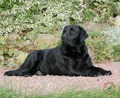Labrador Retriever 9Y262D-047.JPG