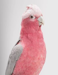 Pretty pink and grey pastel cockatoo. Queenie, Galah Cockatoo by Leila Jeffreys Pretty Birds, Love Birds, Beautiful Birds, Animals Beautiful, Pretty In Pink, Cute Animals, Pink Animals, Perfect Pink, Exotic Birds