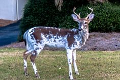 piebald-deer- saw one of these a few years ago out in my dad's woods. Beautiful little 4 point bunk. His brown was lighter though.
