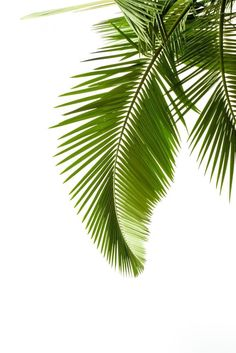 Wallmonkeys WM9398 Leaves of Palm on White Background Peel and Stick Wall Decals (30 in H x 20 in W)