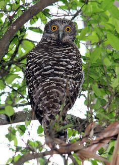 Here's a view of the back of the owl - head turned. Australia Tattoo, Owl Head, Funny Owls, Humming Birds, Australian Birds, Wise Owl, Birds Of Prey, Wild Birds, Bird Feathers