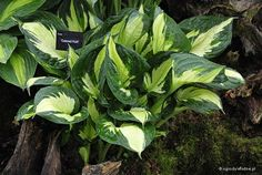 hosta_colored_hulk.jpg