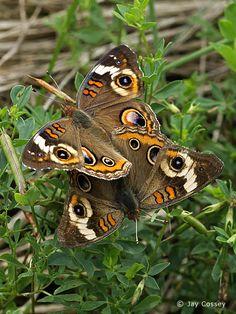 butterflies mating - Google Search