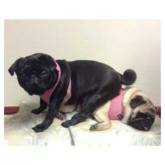 Think of it this way the golden one is me the black one I my pug.