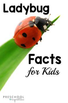 Ladybug Facts for Kids - Preschool Inspirations-- Here are 20 ladybug facts for kids while doing a ladybug theme, learning about ladybugs, or learning about insects and bugs. Preschool Curriculum, Preschool Science, Science For Kids, Homeschooling, Curriculum Planning, Kindergarten Art, Science Lessons, Earth Science, Preschool Ideas