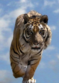 Tiger in the clouds at the WHF, Big Cat Sanctuary, Kent, UK by Mike Seamons Photography