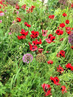 Great Dixter- vibrancy - summer 2013 Ladybird poppies and Alliums