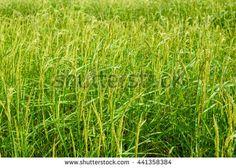 Rice field background.