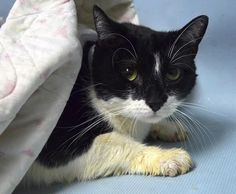 JERRICA - 17116 - - Brooklyn  *** TO BE DESTROYED 01/03/18 *** Plus size 4 year old apparently dumped out into the hallway of a building! JERRICA is upset that either her owner no longer wanted her or no one cared enough to see if she had an owner!! Please step up for this frightened girl! -  Click for info & Current Status: http://nyccats.urgentpodr.org/jerrica-17116/