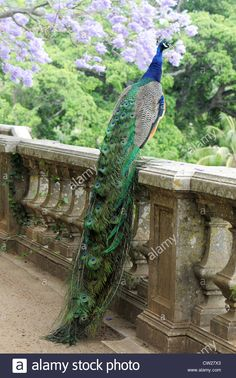 Download this stock image: peacock on a fence with blue tree in the background - CW27X3 from Alamy's library of millions of high resolution stock photos, illustrations and vectors.