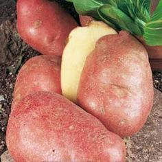 How to grow potatoes{this pin has a video... explains growing potatoes very well!}