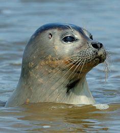 Beautiful Creatures, Animals Beautiful, Baby Animals, Cute Animals, Beluga, Baby Seal, Am Meer, Animals Of The World, Sea Creatures