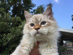 Edwin Nord Grace of Aurora Glow Siberian Cat, Masquerade, Aurora, Glow, Cats, Animals, Gatos, Animales, Animaux