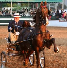 American Saddlebred stallion Call Me Ringo is owned by William and Elizabeth Shatner.