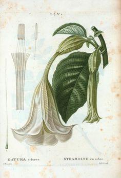 Datura arborea = Stramoine en arbre. [Tree datura] ([1801-1819])