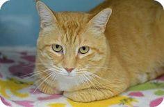 Domestic Shorthair Cat for adoption in Atlanta, Georgia - Julius 151350