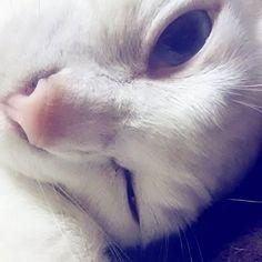 . #おやすみ#goodnight# #おはよう#goodmorning# 人によるもんね# Each person# ウインク#あーちゃん Wink#ahーchan  #猫#愛猫#cat#cats #白猫#whitecat #にゃんすたぐらむ #catstagram #オッドアイ#oddeyes #オッドアイ猫# #oddeyescat#