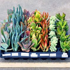 Soft Succulent Plug Tray Select Varieties (49) - Mountain Crest Gardens