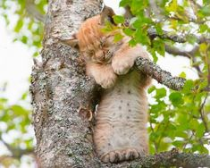 A lynx kitten sleeping up a tree in a novel position, with its arms slung over one branch and its feet resting on another below. I Love Cats, Big Cats, Crazy Cats, Cute Cats, Funny Cats, Cute Baby Animals, Animals And Pets, Funny Animals, Beautiful Cats