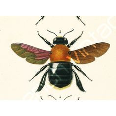 1861 Bumblebees Antique Engraving, Hand colored Original Antique... (€21) ❤ liked on Polyvore featuring home, home decor, wall art, antique wall art, bumble bee drawing, antique drawing and antique home decor
