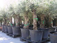 Superstockverkoop van  olijfbomen met kurkstam  -- Elversele -- 31/05-02/06