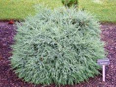 Kigi Nursery - Chamaecyparis lawsoniana ' Duncanii ' Lawsons Cypress, $15.00 (http://www.kiginursery.com/dwarf-miniatures/chamaecyparis-lawsoniana-duncanii-lawsons-cypress/)