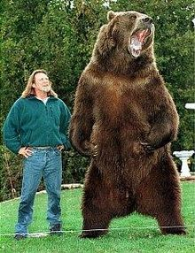 """BART, the bear,was trained by Doug and Lynn Seus, an Alaskan Kodiak Bear, born 1977, died 2000 at the age of 23. He appeared in several movies: Grizzly, Day of the animals, Growing up Grizzly and Legends of the Fall. He grew to 9'6"""" and weighed 1500 pounds"""