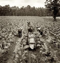 July 1939 Shoofly North Carolina Tobacco field in early morning where white sharecropper & wage laborer are priming tobacco by Dorothea Lange for the Farm Security Administration Old Pictures, Old Photos, Farm Pictures, Vintage Photographs, Vintage Photos, Dorothea Lange Photography, Shorpy Historical Photos, Shoo Fly, Dust Bowl