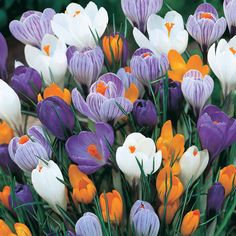 Growing Crocus in the home garden is easy if you know when to plant it. The Crocus bulbs should be in the ground before the first frost. Bulb Flowers, My Flower, Beautiful Flowers, Crocus Bulbs, Early Spring Flowers, Comment Planter, Bloom, Language Of Flowers, Spring Bulbs