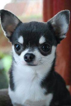 Chihuahua.