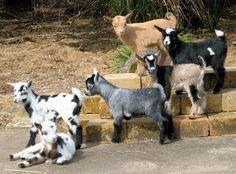 Nigerian Dwarf Goats, Life