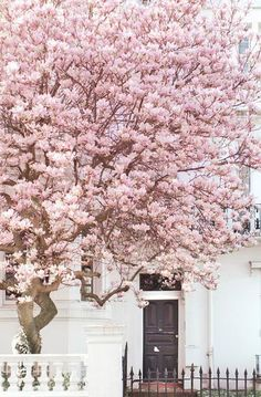 London Fine Art Photography Magnolia, Notting Hill Notting Hill, London in spring is a glorious sight! This magnificent magnolia greeted me on a London Fine Art Photography London Fotografie, Pink Blossom Tree, Cherry Blossoms, Pink Trees, Spring Blossom, Blossom Flower, Cactus Flower, Beautiful Flowers, Beautiful Places