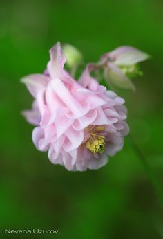 Pastel Pink Columbine Unusual Flowers, Beautiful Flowers Garden, Pretty Flowers, Pink Flowers, Pansies, Tulips, Columbine Flower, Language Of Flowers, Lily Of The Valley