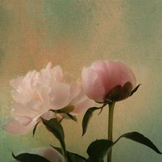 Peony Fine Art Photography by AnneSolfud on Etsy, $15.00