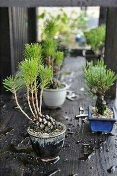Piñas de pino germinados.
