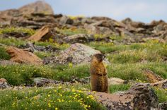 yellow-bellied marmot in an alpine meadow, Rocky Mountain National Park