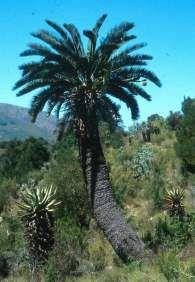 Encephalartos longifolius growing in the wild.          Thunberg's Cycad            Suurbergbroodboom     3 m    SA no 9
