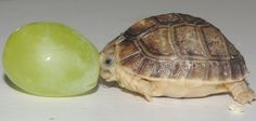 A turtle the size of a grape