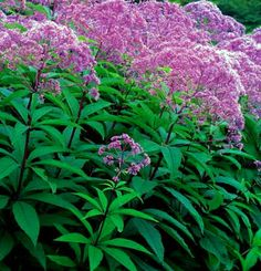Gateway Joe-Pye Weed Perennial - Eupatorium - Gallon Pot *** More info could be found at the image url.
