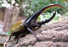 escarabajo hercules hembra - Buscar con Google