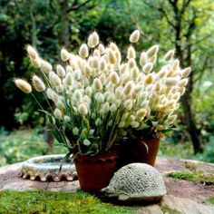 Grasses Ornamental Bunny Tails Seeds