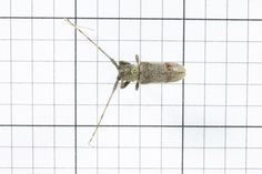Longhorned Beetle, Different Species 2, Order Coleoptera: Family Cerambycidae (top) J. Cauthorn