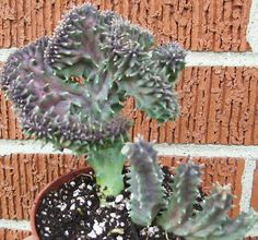 rare succulents | Rare Crested Huernia species succulent