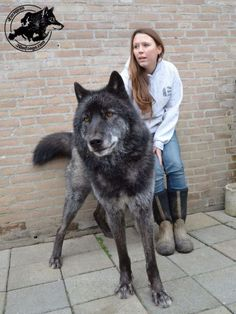 Big wolf hybrid dogs with their masters